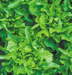 Lettuce Baby Oakleaf D2706 (Green) 500 Organic Heirloom Seeds by David's Garden Seeds : Lettuce Plants : Patio, Lawn & Garden