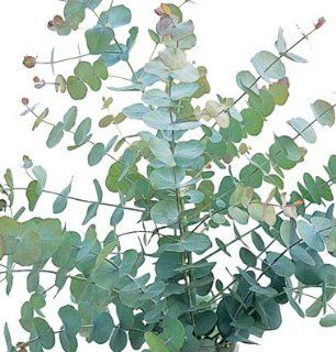 Flower Eucalyptus Silver Dollar 25 Seeds by David's Garden Seeds : Flowering Plants : Patio, Lawn & Garden