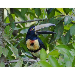 Stewart Parr Collared Aracari bird of Costa Rica (Tucan type