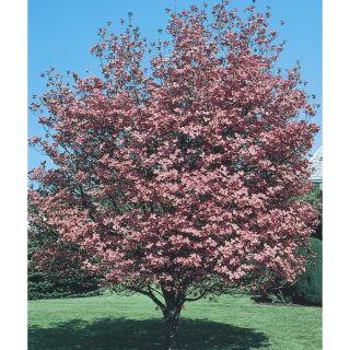6.08 Gallon Pink Crabapple Flowering Tree (L7002)